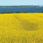 Familienferien an der Ostsee: Vor tiefblauem Küstenwasser liegt ein blühendes gelbes Rapsfeld.